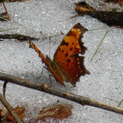 Butterflies and snow