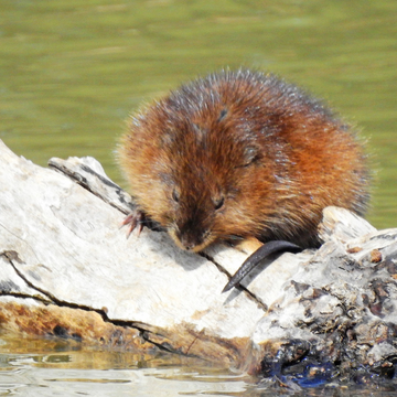 Muskrat on a sunny day