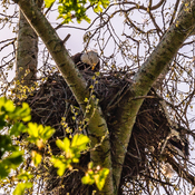 Eagle Dad watches over Mom and Babies