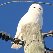 Snowy owl by Miscou Lighthouse