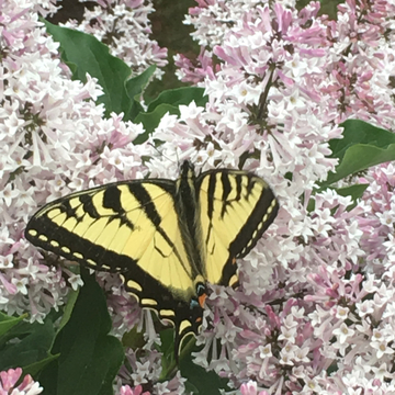 Butterfly in blossom