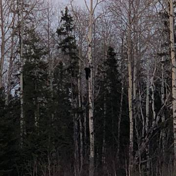 Bear Spotting In Timmins 04.23.2018