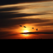 Sunset and geese