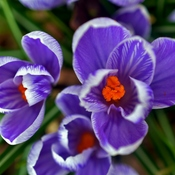crocus are beautiful
