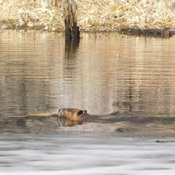 Beaver swimming outside his den