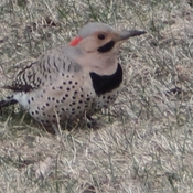 Beautiful Northern Flicker