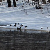 les canards sauvage