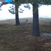 Robin Looking For Food Under The Pines
