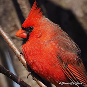 Beautiful northern cardinal ❤️