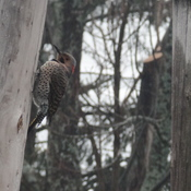 Busy Northern Flicker