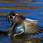 Wood Duck flap