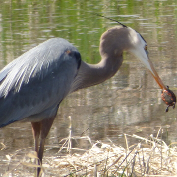 Heron eating a turtle