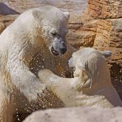 Polar Bear Play Fight
