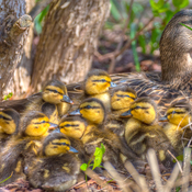 Mom With Ducklings