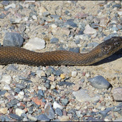 Young water snake, Elliot lake.