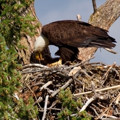 Bald eagle feeding young