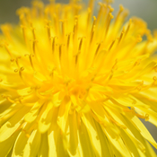 Curlies of Dandelion