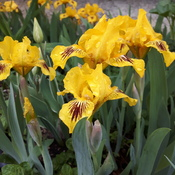 Pretty yellow irises