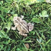 Toads careful when cutting the grass