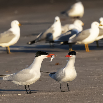 Caspian Terns courtship