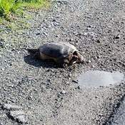 Snapping Turtle Basking in Sun