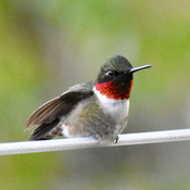 Hummingbirds are back
