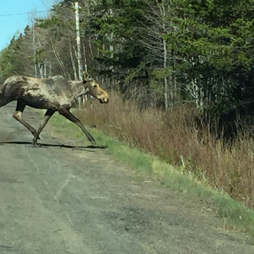 Mosse crossing when I was walking in Richibucto village NB