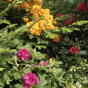 Tri colour rhododendrons, too bad they come and go so quickly !