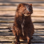 Mink along the boardwalk