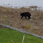 Bears are awake on Hay Bay