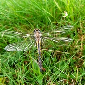 Dragonfly drying its wings