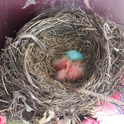 Bird nest, egg and babies