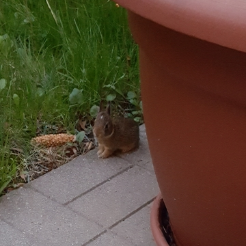 baby bunny born in my backyard.