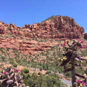 In Sedona flowering cacti