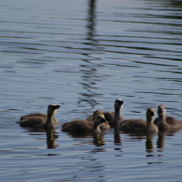City Councillors plan for Goslings, Geese, Princes Isalnd Park?