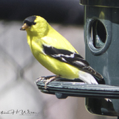 Mr Gold Finch