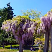 Time for wisteria to shine