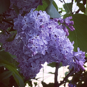 Lilacs the true sign of spring.