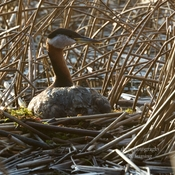 Nesting common loon and Western grebe.