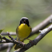 Common yellow throat sings