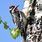 Yellow-bellied Sapsucker (M)