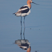 Avocet Adventure