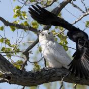 Crow attacks snowy owl