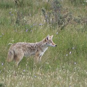 City parks shooting Coyotes with paintball guns, Nose Hill Park.