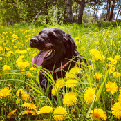 Lost in a sea of dandelions!
