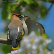Cedar Waxwings exchanging blossom leaves