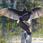 Turkey vultures, Elliot Lake.