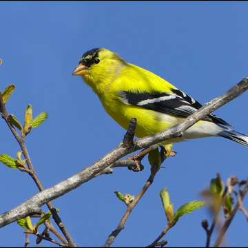 Golden finch, Elliot Lake.