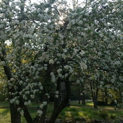 Gorgeous apple tree in bloom
