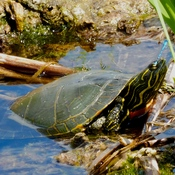 THE TURTLE AND THE DAMSELFLY!!
